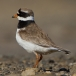 Bontbekplevier &#8211; Great Ringed Plover