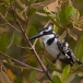 bonte-ijsvogel-pied-kingfisher-03