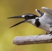 bonte-ijsvogel-pied-kingfisher-10
