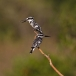 bonte-ijsvogel-pied-kingfisher-12