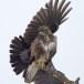 Bonte kraai - Hooded Crow 06