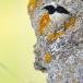 bonte-tapuit-pied-wheatear-04