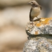 bonte-tapuit-pied-wheatear-06
