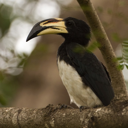 bonte-tok-african-pied-hornbill-01