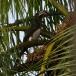 bonte-tok-african-pied-hornbill-03