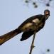 bonte-tok-african-pied-hornbill-06