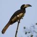 Bonte Tok – African Pied Hornbill