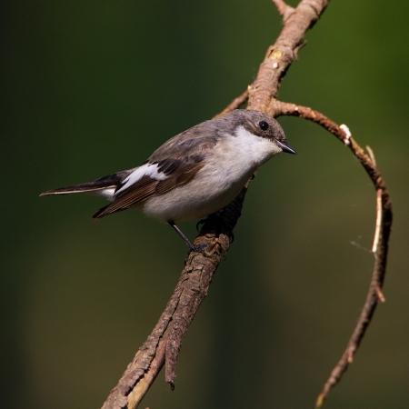 bonte-vliegenvanger-pied-flycatcher-02