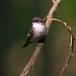 bonte-vliegenvanger-pied-flycatcher-01