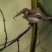 bonte-vliegenvanger-pied-flycatcher-05