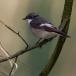 bonte-vliegenvanger-pied-flycatcher-06