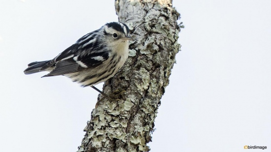 Bonte zanger - Black and white warbler 003