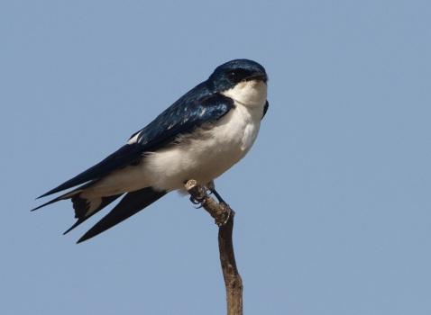 bontvleugelzwaluw-pied-winged-swallow-01