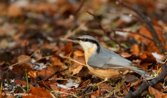 boomklever-eurasian-nuthatch-04