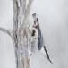 Boomklever ssp clara -  Eurasian Nuthatch ssp clara 06