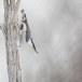 Boomklever ssp clara -  Eurasian Nuthatch ssp clara 07