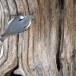 Boomklever ssp clara -  Eurasian Nuthatch ssp clara 09