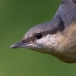 boomklever-eurasian-nuthatch-05
