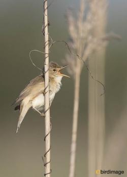 Bosrietzanger - Marsh Warbler 10