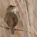 bosrietzanger-marsh-warbler-03