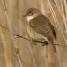 bosrietzanger-marsh-warbler-04