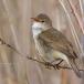 bosrietzanger-marsh-warbler-05