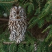 bosuil-tawny-owl-01