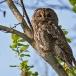 bosuil-tawny-owl-03