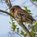 bosuil-tawny-owl-04
