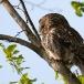 bosuil-tawny-owl-06