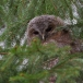 bosuil-tawny-owl-07