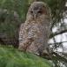 bosuil-tawny-owl-08