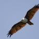 brahmaanse-wouw-brahminy-kite-02
