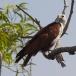 brahmaanse-wouw-brahminy-kite-06