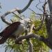 brahmaanse-wouw-brahminy-kite-07