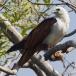 brahmaanse-wouw-brahminy-kite-09