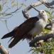 brahmaanse-wouw-brahminy-kite-10