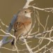 Brilgrasmus - Spectacled Warbler 01