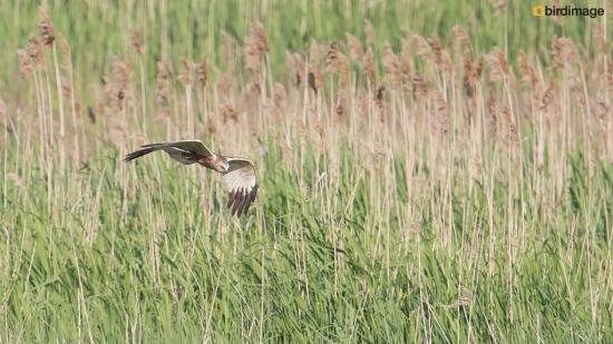 Bruine kiekendief - Marsh Harrier 31