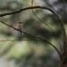 Bruine-klauwier-Brown-shrike-07