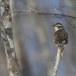 Bruine lijster - Dusky thrush 01
