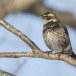 Bruine lijster - Dusky thrush 04
