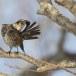 Bruine lijster - Dusky thrush 05