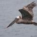 Bruine pelikaan – Brown Pelican