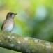 Bruine-vliegenvanger-Asian-brown-flycatcher-02