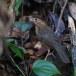 Bruinkapjungletimalia-Brown-capped-babbler-02