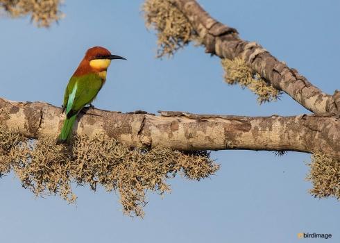 Bruinkopbijeneter-Chestnut-headed-bee-eater-02