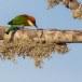 Bruinkopbijeneter-Chestnut-headed-bee-eater-01