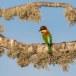 Bruinkopbijeneter-Chestnut-headed-bee-eater-03