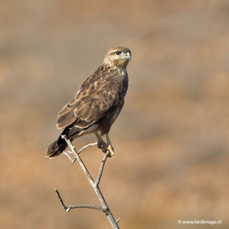 Buizerd  - Common Buzzard CE01